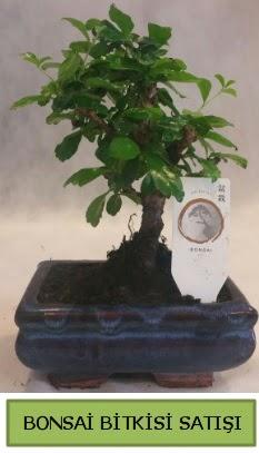 Bonsai ithal görsel minyatür japon ağacı  Bingöl Gölüm Çiçek ucuz çiçek gönder