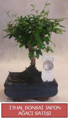 İthal küçük boy minyatür bonsai ağaç bitkisi  Bingöl Gölüm Çiçek çiçekçi telefonları