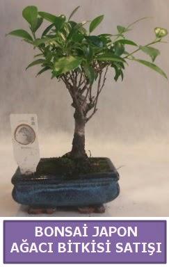 İthal Bonsai japon ağacı bitkisi satışı  Bingöl Gölüm Çiçek İnternetten çiçek siparişi