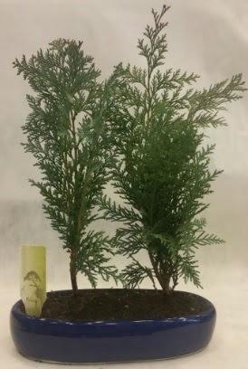 SINIRLI SAYIDA Selvi Ağacı bonsai ikili  Bingöl Gölüm Çiçek çiçekçi telefonları