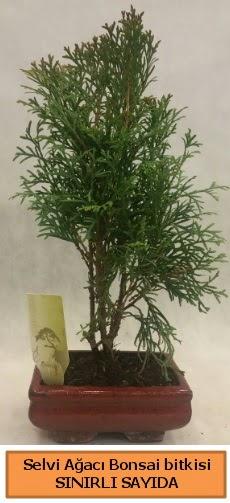 Selvi ağacı bonsai japon ağacı bitkisi  Bingöl Gölüm Çiçek çiçek satışı