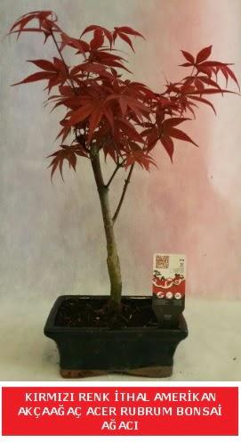 İTHAL ACER RUBRUM BONSAİ AĞACI  Bingöl Gölüm Çiçek çiçek gönderme sitemiz güvenlidir
