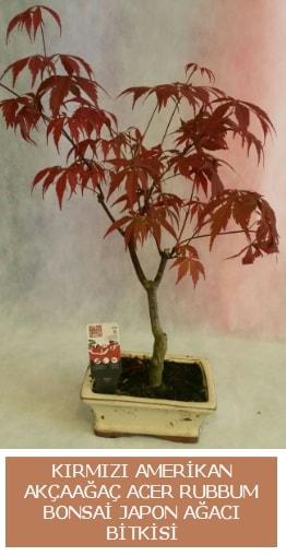 Amerikan akçaağaç Acer Rubrum bonsai  Bingöl Gölüm Çiçek uluslararası çiçek gönderme