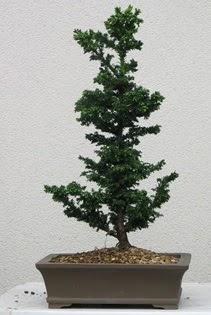 Çam ağacı bonsai bitkisi satışı  Bingöl Gölüm Çiçek çiçekçi telefonları