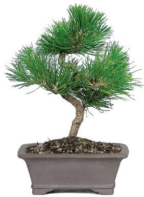 Çam ağacı bonsai japon ağacı bitkisi  Bingöl Gölüm Çiçek çiçek gönderme