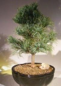 Çam ağacı bonsai bitkisi satışı  Bingöl Gölüm Çiçek ucuz çiçek gönder