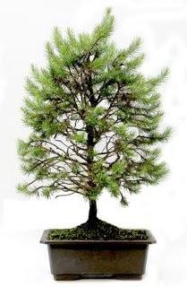 *** STOKTA YOK - Çam ağacı bonsai bitkisi satışı  Bingöl Gölüm Çiçek cicekciler , cicek siparisi