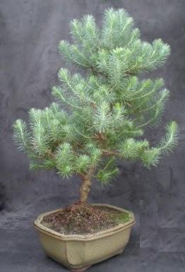 Bonsai çam ağacı japon ağacı bitkisi  Bingöl Gölüm Çiçek çiçek gönderme sitemiz güvenlidir