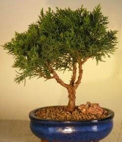 Servi çam bonsai japon ağacı bitkisi  Bingöl Gölüm Çiçek çiçek yolla