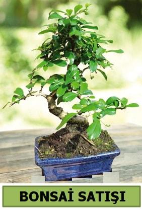 Çam bonsai japon ağacı satışı  Bingöl Gölüm Çiçek çiçek satışı