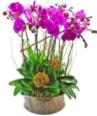 Ahşap kütükte lila mor orkide 8 li  Bingöl Gölüm Çiçek internetten çiçek satışı