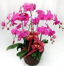 Sepet içerisinde 5 dallı lila orkide  Bingöl Gölüm Çiçek ucuz çiçek gönder