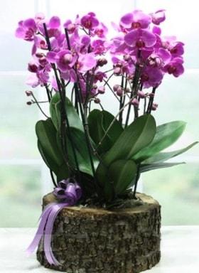 Kütük içerisinde 6 dallı mor orkide  Bingöl Gölüm Çiçek ucuz çiçek gönder