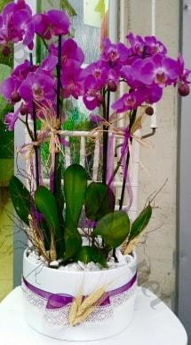 Seramik vazoda 4 dallı mor lila orkide  Bingöl Gölüm Çiçek online çiçek gönderme sipariş