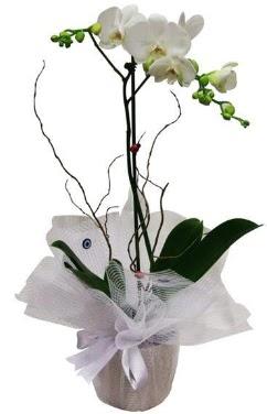 Tek dallı beyaz orkide  Bingöl Gölüm Çiçek cicek , cicekci