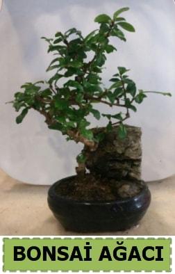 Bonsai ağacı japon ağacı satışı  Bingöl Gölüm Çiçek hediye çiçek yolla
