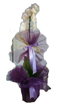 Tek dallı beyaz orkide süper kalite ithal  Bingöl Gölüm Çiçek çiçek siparişi sitesi