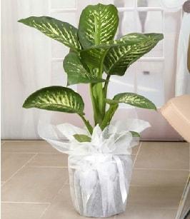 Tropik saksı çiçeği bitkisi  Bingöl Gölüm Çiçek çiçek satışı