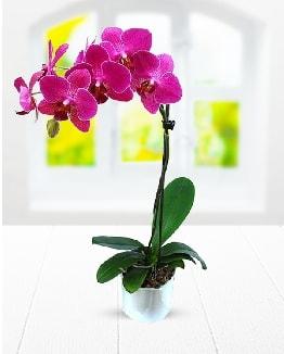 Tek dallı mor orkide  Bingöl Gölüm Çiçek çiçek satışı
