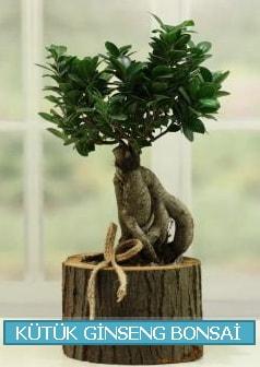 Kütük ağaç içerisinde ginseng bonsai  Bingöl Gölüm Çiçek çiçek gönderme sitemiz güvenlidir