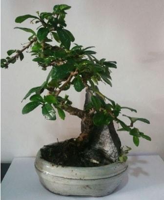S şeklinde ithal bonsai ağacı  Bingöl Gölüm Çiçek çiçek yolla