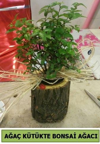 Doğal ağaç kütük içerisinde bonsai ağacı  Bingöl Gölüm Çiçek çiçek gönderme sitemiz güvenlidir