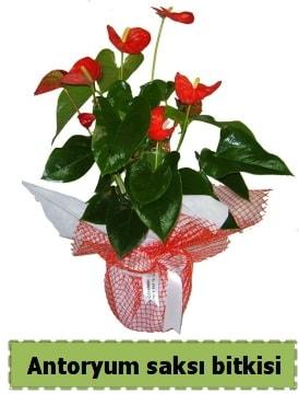 Antoryum saksı bitkisi satışı  Bingöl Gölüm Çiçek çiçek , çiçekçi , çiçekçilik
