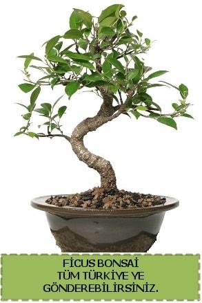 Ficus bonsai  Bingöl Gölüm Çiçek çiçek gönderme sitemiz güvenlidir