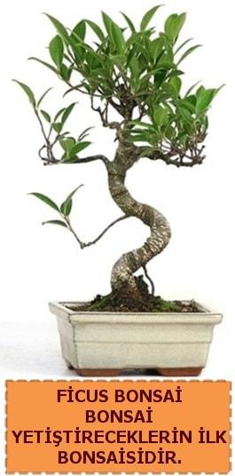Ficus bonsai 15 ile 25 cm arasındadır  Bingöl Gölüm Çiçek çiçek yolla