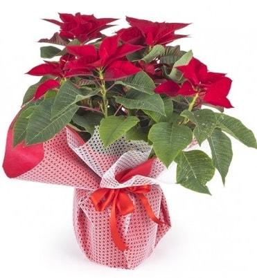 Atatürk çiçeği saksı bitkisi  Bingöl Gölüm Çiçek çiçek gönderme sitemiz güvenlidir