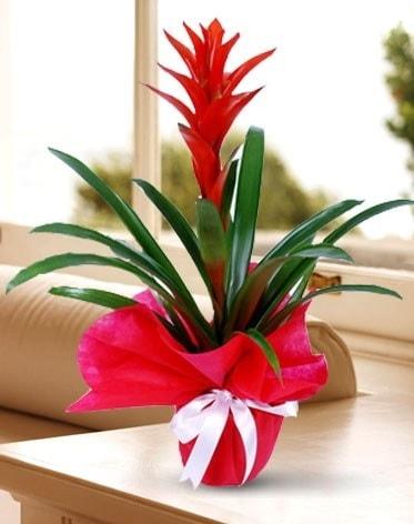 Guzmanya Saksı Çiçeği  Bingöl Gölüm Çiçek çiçek yolla