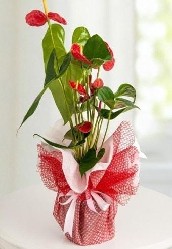 Anthurium Saksı Çiçeği  Bingöl Gölüm Çiçek hediye çiçek yolla