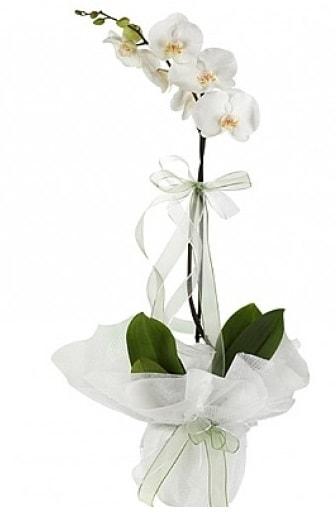 Tekli Beyaz Orkide  Bingöl Gölüm Çiçek hediye çiçek yolla