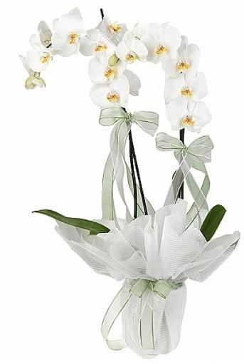 Çift Dallı Beyaz Orkide  Bingöl Gölüm Çiçek anneler günü çiçek yolla