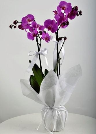 Çift dallı saksıda mor orkide çiçeği  Bingöl Gölüm Çiçek çiçek siparişi vermek