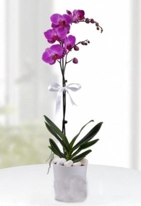 Tek dallı saksıda mor orkide çiçeği  Bingöl Gölüm Çiçek çiçekçiler