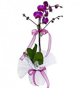 Tek dallı saksıda ithal mor orkide çiçeği  Bingöl Gölüm Çiçek çiçekçiler