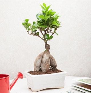 Exotic Ficus Bonsai ginseng  Bingöl Gölüm Çiçek çiçek servisi , çiçekçi adresleri