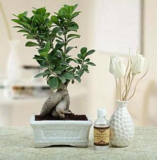 Ginseng ficus bonsai  Bingöl Gölüm Çiçek çiçekçiler