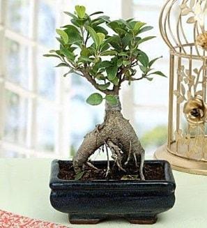 Appealing Ficus Ginseng Bonsai  Bingöl Gölüm Çiçek anneler günü çiçek yolla