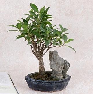 Japon ağacı Evergreen Ficus Bonsai  Bingöl Gölüm Çiçek çiçek gönderme sitemiz güvenlidir