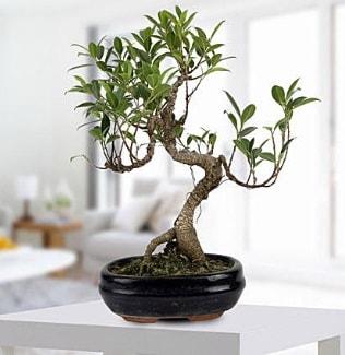 Gorgeous Ficus S shaped japon bonsai  Bingöl Gölüm Çiçek yurtiçi ve yurtdışı çiçek siparişi