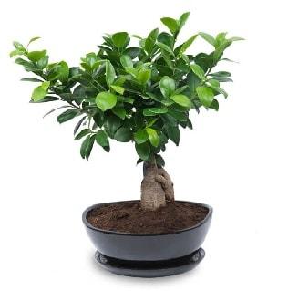 Ginseng bonsai ağacı özel ithal ürün  Bingöl Gölüm Çiçek internetten çiçek satışı