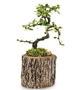 Doğal kütükte S bonsai ağacı  Bingöl Gölüm Çiçek çiçek satışı