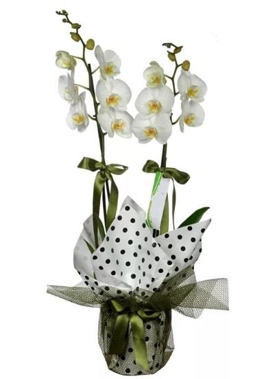 Çift Dallı Beyaz Orkide  Bingöl Gölüm Çiçek 14 şubat sevgililer günü çiçek
