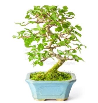 S zerkova bonsai kısa süreliğine  Bingöl Gölüm Çiçek İnternetten çiçek siparişi