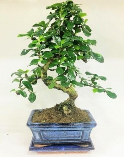 S Bonsai japon ağacı bitkisi  Bingöl Gölüm Çiçek uluslararası çiçek gönderme