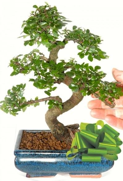 Yaklaşık 25 cm boyutlarında S bonsai  Bingöl Gölüm Çiçek çiçek siparişi sitesi