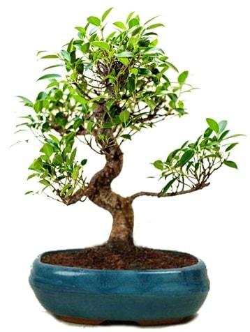 25 cm ile 30 cm aralığında Ficus S bonsai  Bingöl Gölüm Çiçek çiçek gönderme sitemiz güvenlidir