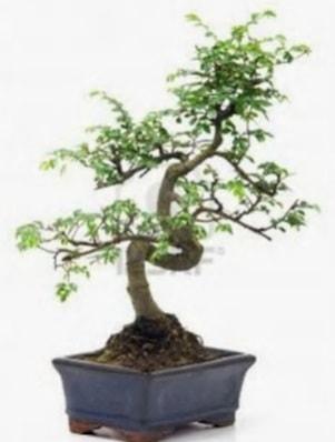 S gövde bonsai minyatür ağaç japon ağacı  Bingöl Gölüm Çiçek çiçek satışı